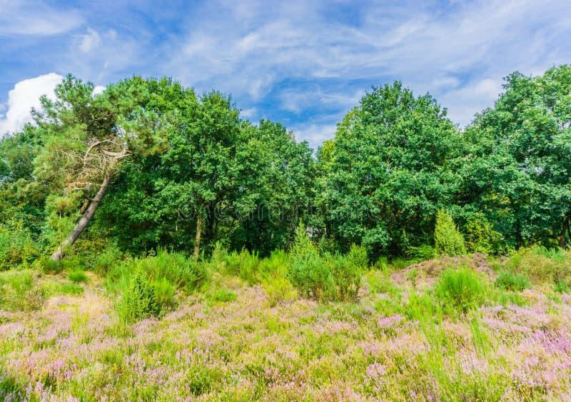 Εγκαταστάσεις ερείκης λιβαδιών με τα δέντρα και το πραγματικό τοπίο ομορφιάς μπλε ουρανού στοκ εικόνες