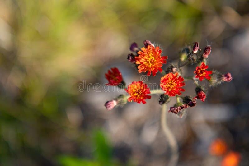 Εγκαταστάσεις ζιζανίων λουλουδιών Hawkweed το καλοκαίρι στοκ φωτογραφία με δικαίωμα ελεύθερης χρήσης