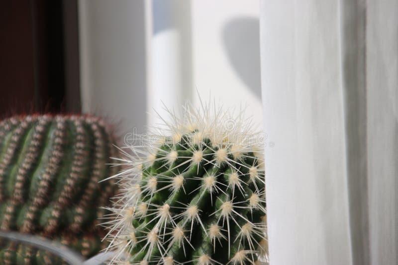 Εγκαταστάσεις κάκτων pasacana Trichocereus με το prickle στο σπίτι που αυξάνεται στοκ φωτογραφία με δικαίωμα ελεύθερης χρήσης