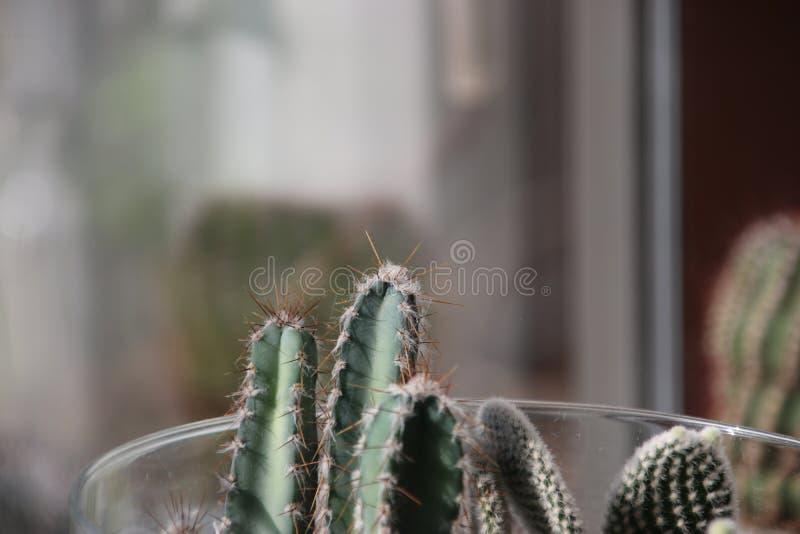 Εγκαταστάσεις κάκτων pasacana Trichocereus με το prickle στο σπίτι που αυξάνεται στοκ εικόνα με δικαίωμα ελεύθερης χρήσης