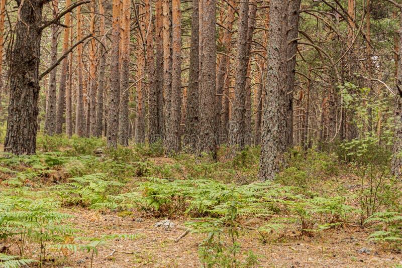 Εγκαταστάσεις και δάσος πεύκων στην οροσειρά guadarrama Μαδρίτη Ισπανία στοκ φωτογραφία με δικαίωμα ελεύθερης χρήσης