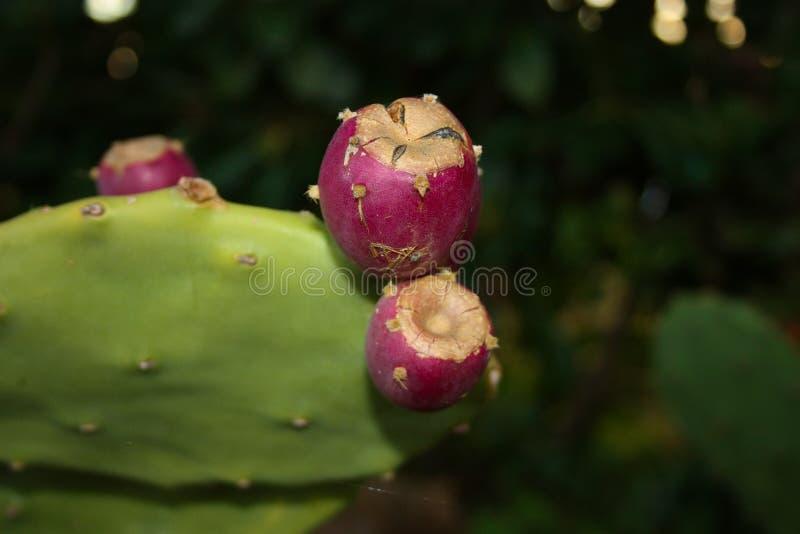 Εγκαταστάσεις και φρούτα του τραχιού αχλαδιού του πορφυρού χρώματος, ώριμος, juicy, νόστιμου στοκ εικόνες με δικαίωμα ελεύθερης χρήσης
