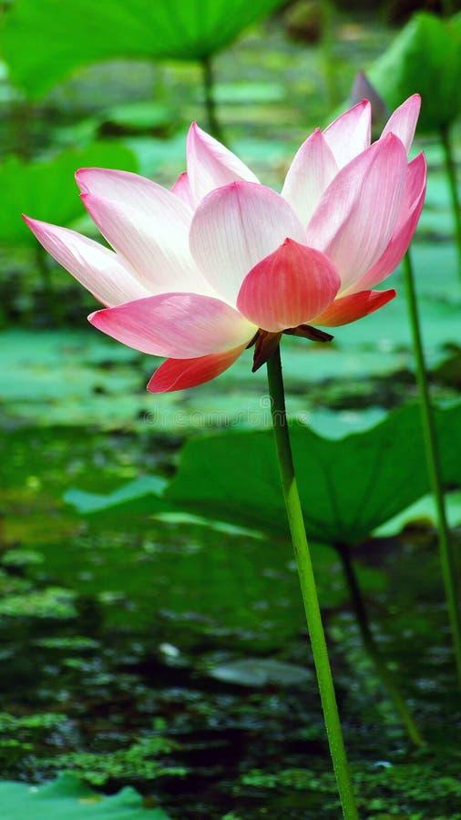 Εγκαταστάσεις λουλουδιών Lotus και λουλουδιών Lotus στοκ εικόνες με δικαίωμα ελεύθερης χρήσης