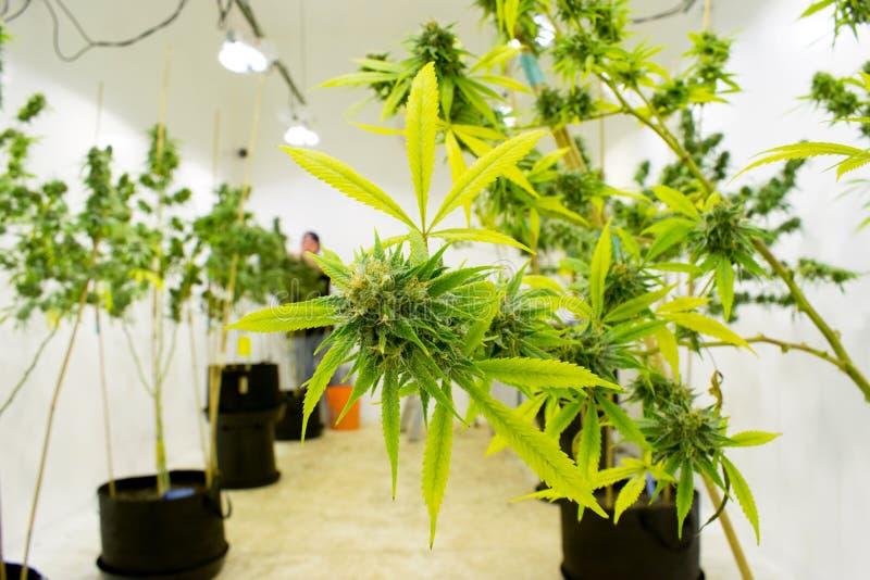 Εγκαταστάσεις μαριχουάνα και καννάβεων στο αγρόκτημα στοκ εικόνα με δικαίωμα ελεύθερης χρήσης