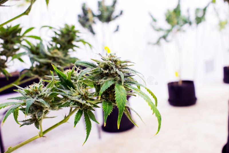 Εγκαταστάσεις μαριχουάνα και καννάβεων στο αγρόκτημα στοκ φωτογραφία
