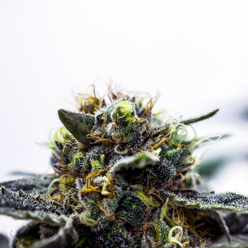 Εγκαταστάσεις μαριχουάνα και καννάβεων στο αγρόκτημα, το ζιζάνιο δοχε στοκ φωτογραφία με δικαίωμα ελεύθερης χρήσης