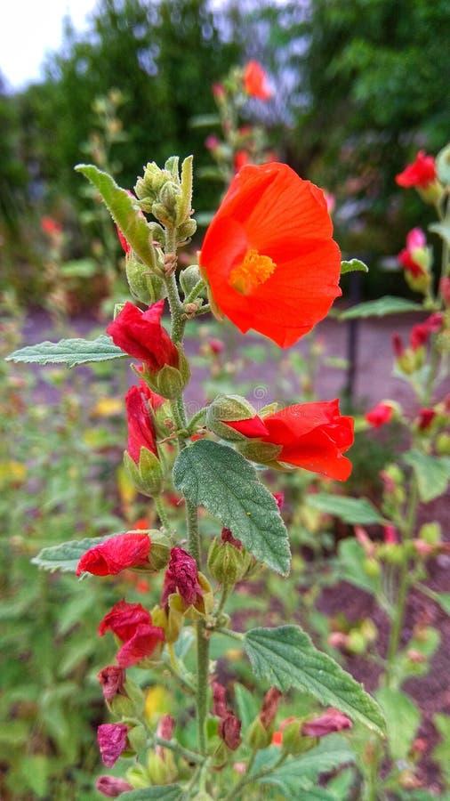 Εγκαταστάσεις με το κόκκινο άνθος λουλουδιών στοκ φωτογραφίες με δικαίωμα ελεύθερης χρήσης