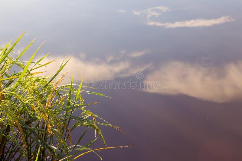 Εγκαταστάσεις ορυζώνα ρυζιού με την αντανάκλαση του ουρανού σε μια λίμνη στοκ εικόνα με δικαίωμα ελεύθερης χρήσης