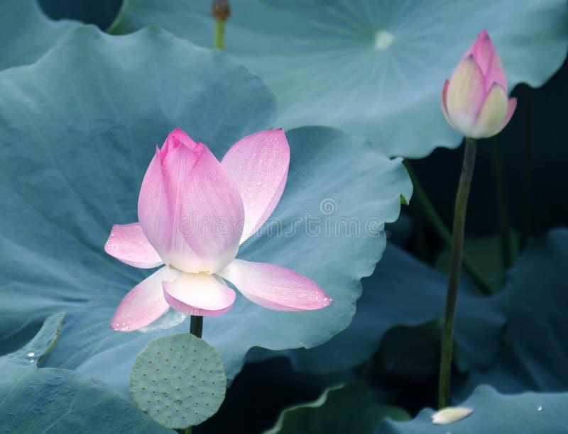 Εγκαταστάσεις λουλουδιών Lotus και λουλουδιών Lotus στοκ φωτογραφία
