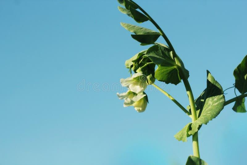 Εγκαταστάσεις πράσινων μπιζελιών με το άσπρο λουλούδι στο μπλε ουρανό στοκ εικόνες