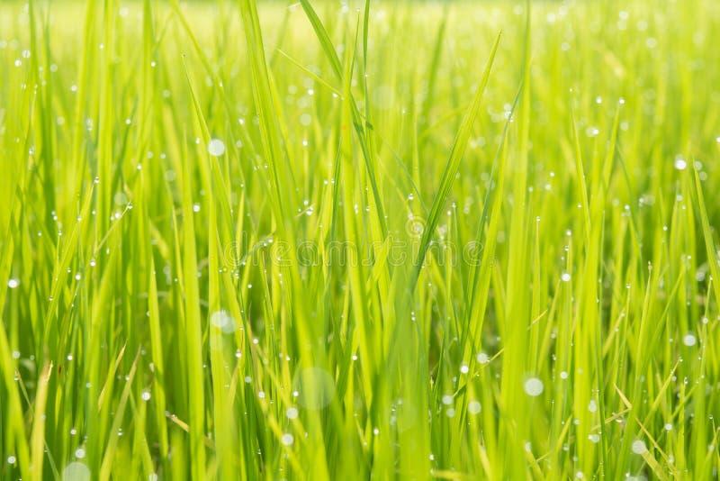 Εγκαταστάσεις ρυζιού στο αγρόκτημα και το πρωί στοκ εικόνα με δικαίωμα ελεύθερης χρήσης