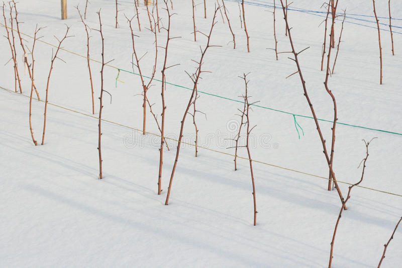 Εγκαταστάσεις σμέουρων το χειμώνα στοκ φωτογραφία με δικαίωμα ελεύθερης χρήσης