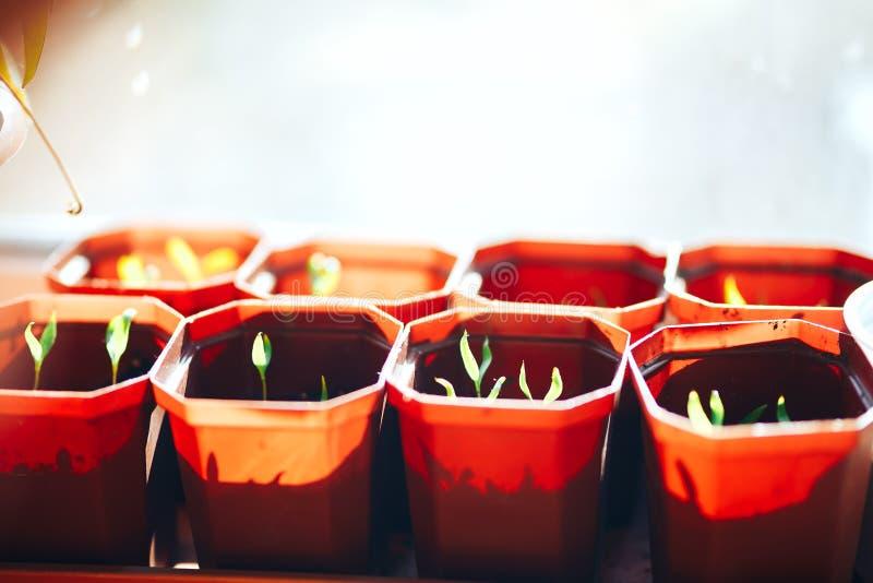 Εγκαταστάσεις σποροφύτων πιπεριών πάπρικας στη στρωματοειδή φλέβα παραθύρων στα καφετιά πλαστικά δοχεία στοκ φωτογραφία με δικαίωμα ελεύθερης χρήσης