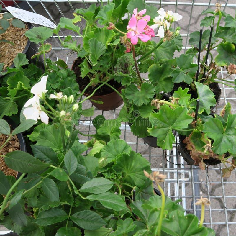 Εγκαταστάσεις στα μικρά δοχεία για τη φύτευση στον κήπο σε ένα ασβέστιο αγορών στοκ εικόνα