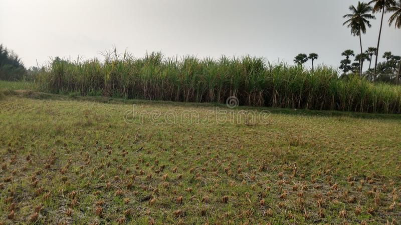 Εγκαταστάσεις τομέων και ζαχαροκάλαμων γεωργίας μακριά στοκ φωτογραφίες με δικαίωμα ελεύθερης χρήσης