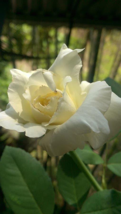 Εγκαταστάσεις του λευκού τριαντάφυλλων στοκ εικόνες
