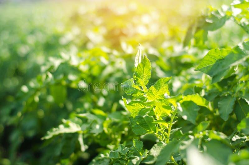 Εγκαταστάσεις του Μπους της νέας ανάπτυξης πατατών στον τομέα, καλλιέργεια, γεωργία, λαχανικά, φιλικά προς το περιβάλλον αγροτικά στοκ εικόνα