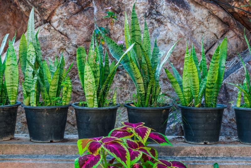Εγκαταστάσεις φιδιών πεθερών Sansevieria Trifasciata/με τις πορφυρές χρωματισμένες Nettle εγκαταστάσεις στον κήπο στοκ φωτογραφία με δικαίωμα ελεύθερης χρήσης