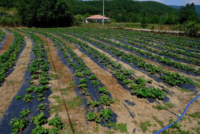 Εγκαταστάσεις φραουλών με τα ωριμάζοντας μούρα στον τομέα Μπους, γεωργία στοκ εικόνα