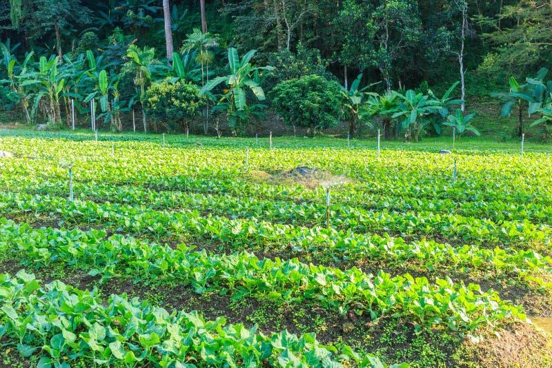 Εγκαταστάσεις φυτικών κήπων του Kale στοκ εικόνα