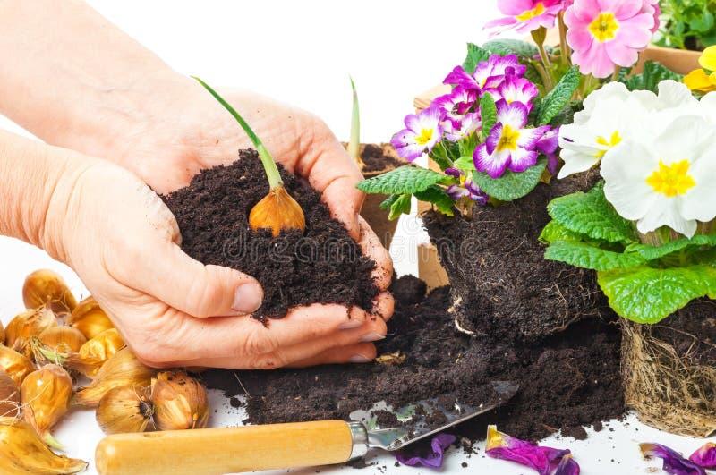 Εγκαταστάσεις, χέρια, potting χώμα, βολβός λουλουδιών στοκ φωτογραφία