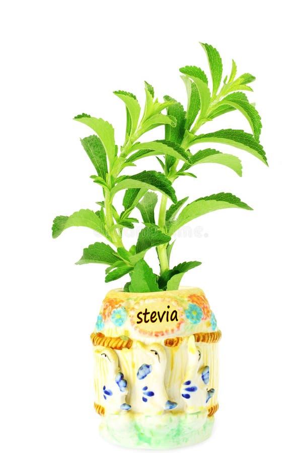 Εγκαταστάσεις χορταριών υποκατάστατων ζάχαρης Stevia στο δοχείο στοκ φωτογραφίες με δικαίωμα ελεύθερης χρήσης