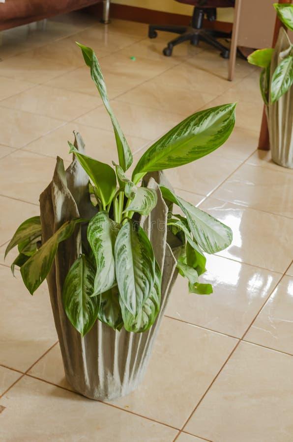 Εγκαταστάσεις Aglaonema στο μοντέρνο δοχείο λουλουδιών στοκ εικόνα με δικαίωμα ελεύθερης χρήσης