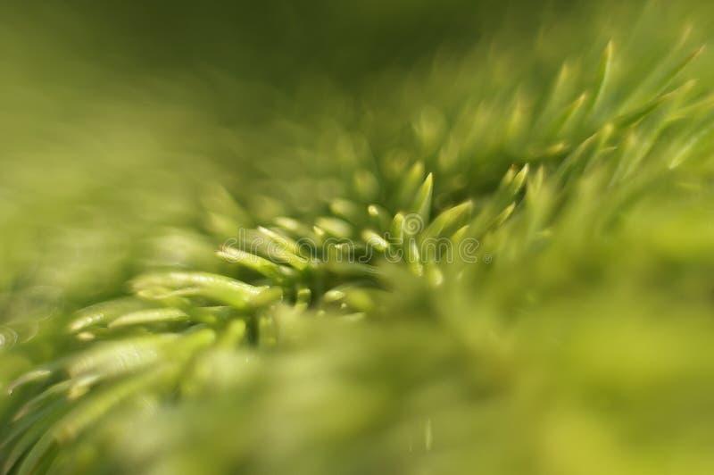 Εγκαταστάσεις Araucariaceae στοκ φωτογραφία με δικαίωμα ελεύθερης χρήσης