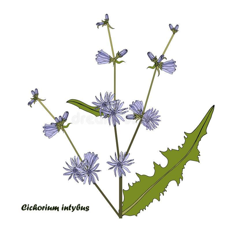 Εγκαταστάσεις Cichorium Μπλε λουλούδι, πράσινα φύλλα στο λευκό Σχεδίου συρμένο χέρι επίπεδο σχέδιο απεικόνισης στοιχείων βοτανικό διανυσματική απεικόνιση