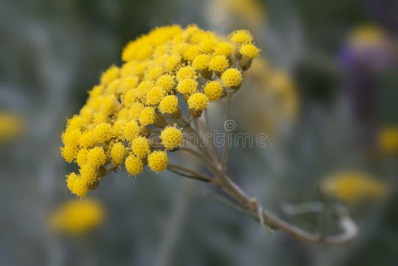 Εγκαταστάσεις Helichrysum στοκ φωτογραφία με δικαίωμα ελεύθερης χρήσης