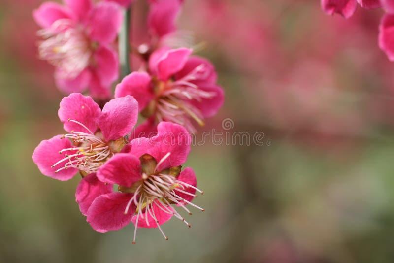 Εγκαταστάσεις Mume Prunus στοκ φωτογραφία με δικαίωμα ελεύθερης χρήσης