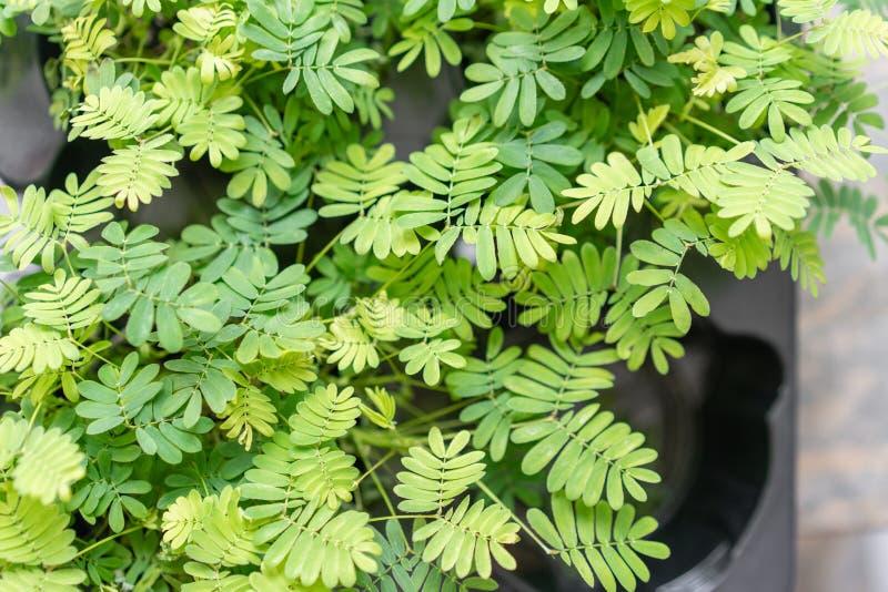 Εγκαταστάσεις Shameplant, pudica Mimosa r στοκ εικόνα με δικαίωμα ελεύθερης χρήσης