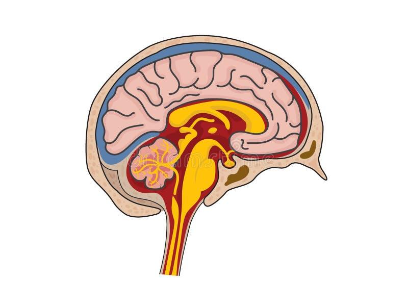 Εγκεφαλονωτιαίς-ρευστός διανυσματική απεικόνιση