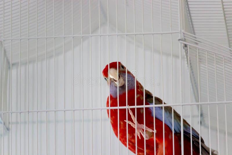 εγκλωβίστε τον παπαγάλο στοκ φωτογραφία με δικαίωμα ελεύθερης χρήσης