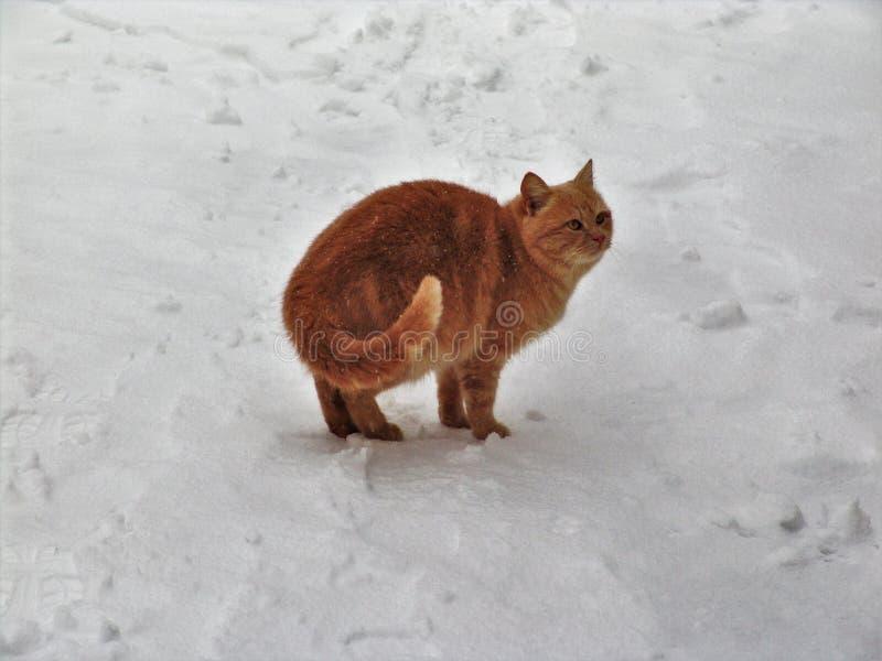 Εγχώρια γάτα στο χιόνι στοκ εικόνα με δικαίωμα ελεύθερης χρήσης