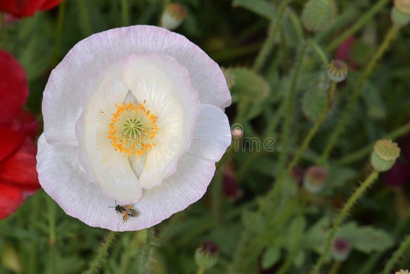 Εδάφη μελισσών στο πέταλο άσπρων παπαρουνών στοκ φωτογραφία με δικαίωμα ελεύθερης χρήσης
