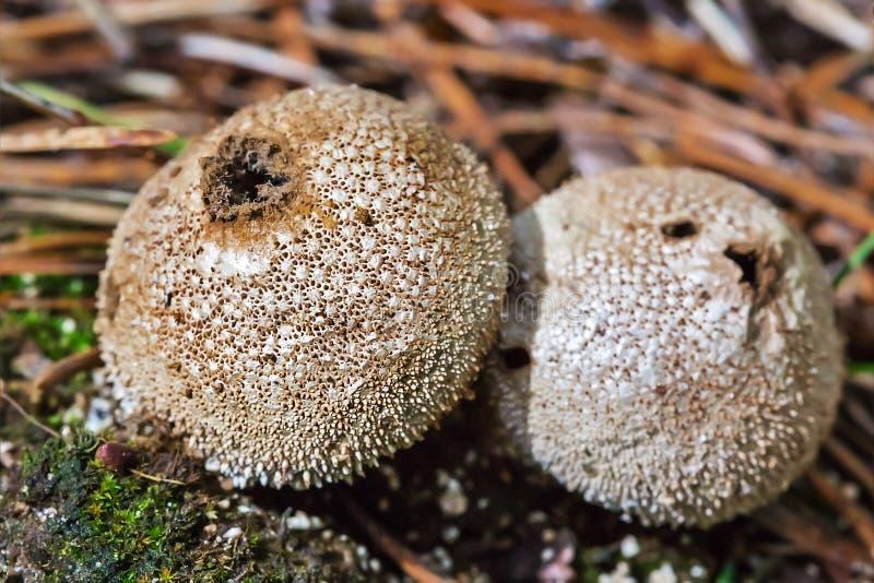 Εδώδιμα ακανθωτά λατινικά Puffball μανιταριών Lycoperdon perlatum στοκ φωτογραφίες