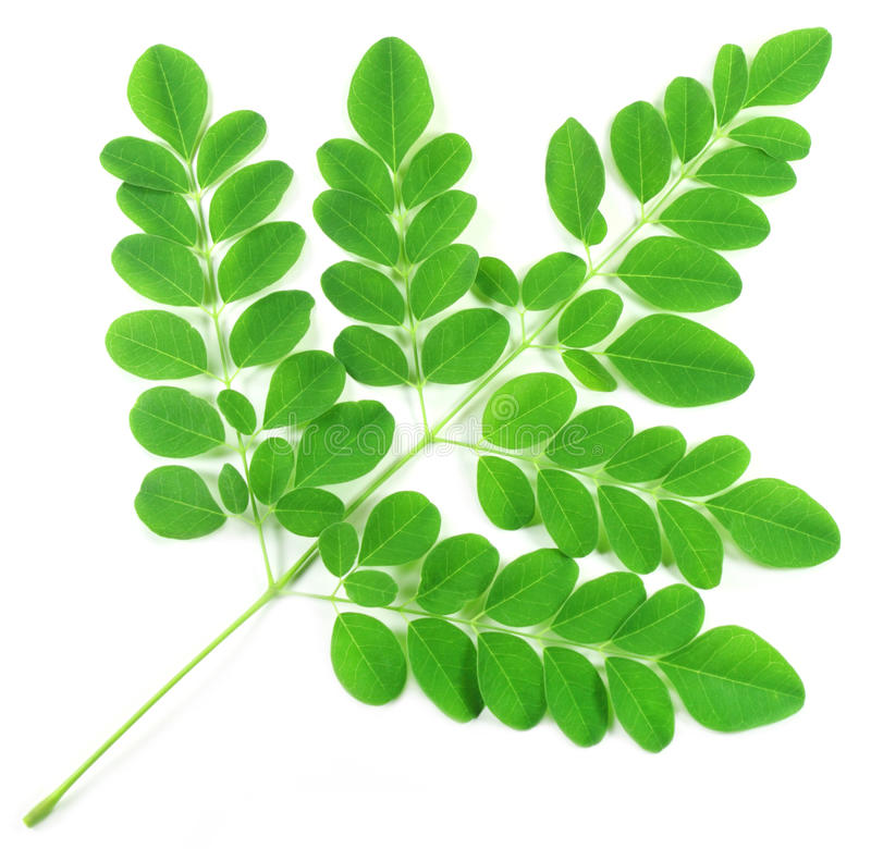 Εδώδιμα moringa φύλλα στοκ εικόνες