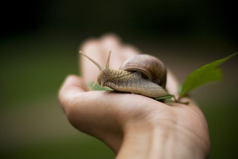 εδώδιμο σαλιγκάρι χεριών στοκ εικόνα με δικαίωμα ελεύθερης χρήσης