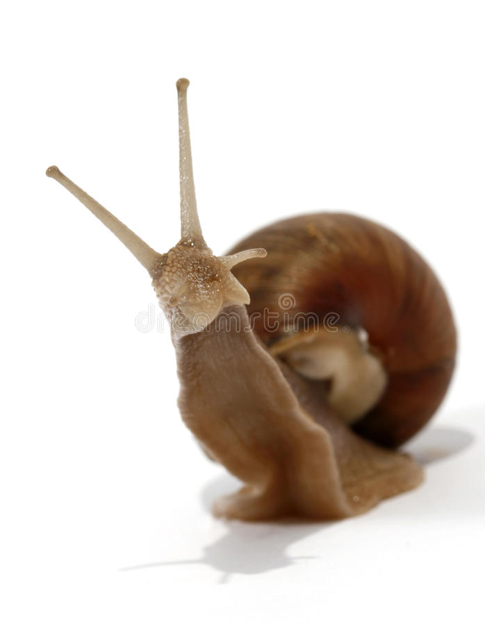 εδώδιμο σαλιγκάρι στοκ εικόνα