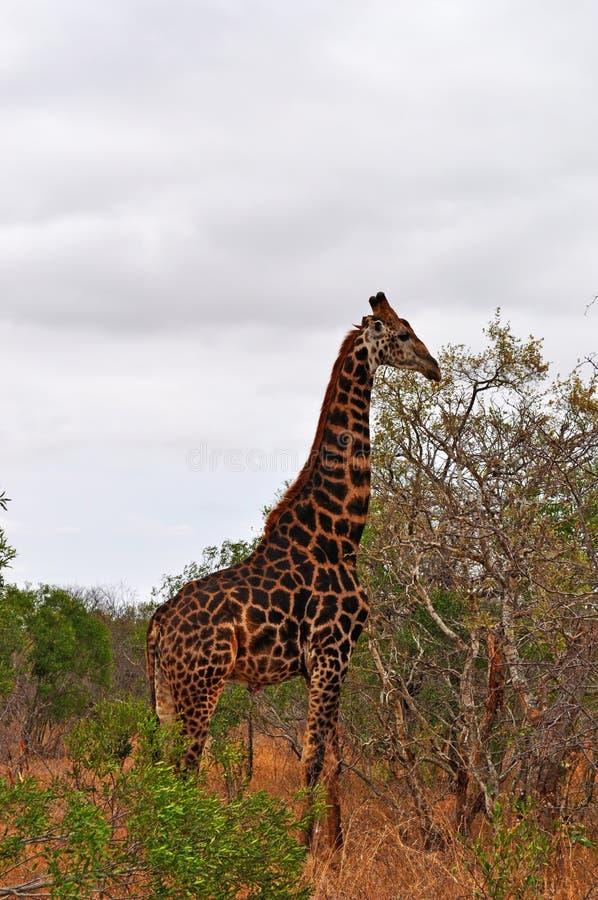 Εθνικές επαρχίες πάρκων, Limpopo και Mpumalanga Kruger, Νότια Αφρική στοκ φωτογραφίες με δικαίωμα ελεύθερης χρήσης