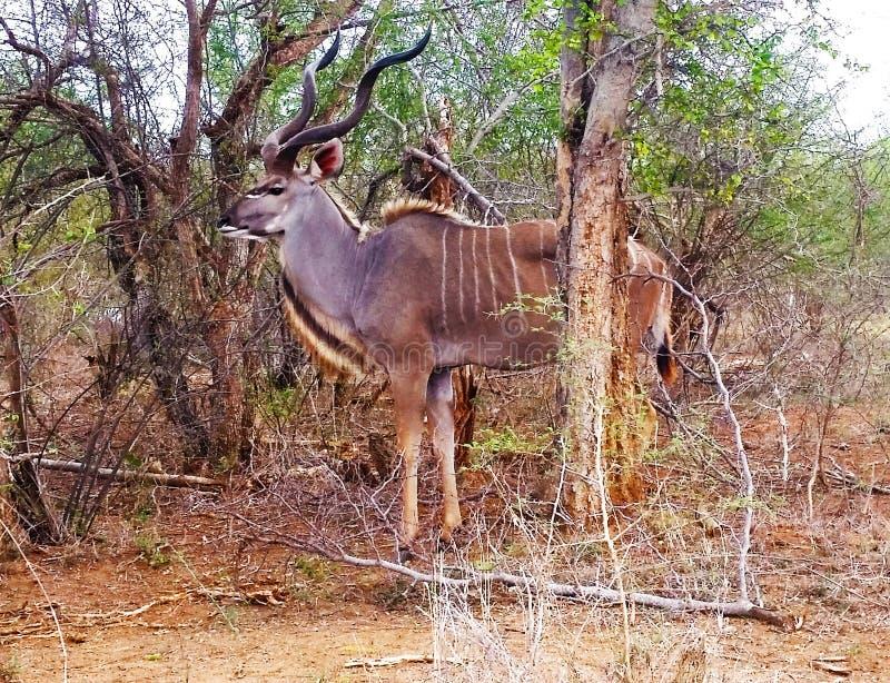 Εθνικό Δελτίο Kudu πάρκων Kruger στοκ εικόνες