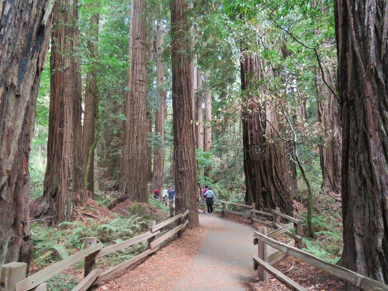 Εθνικό μνημείο ξύλων Muir - 9/18/2017 - περίπατος τουριστών μέσω των γιγαντιαίων δέντρων Redwood στο εθνικό μνημείο ξύλων Muir ou στοκ φωτογραφίες με δικαίωμα ελεύθερης χρήσης