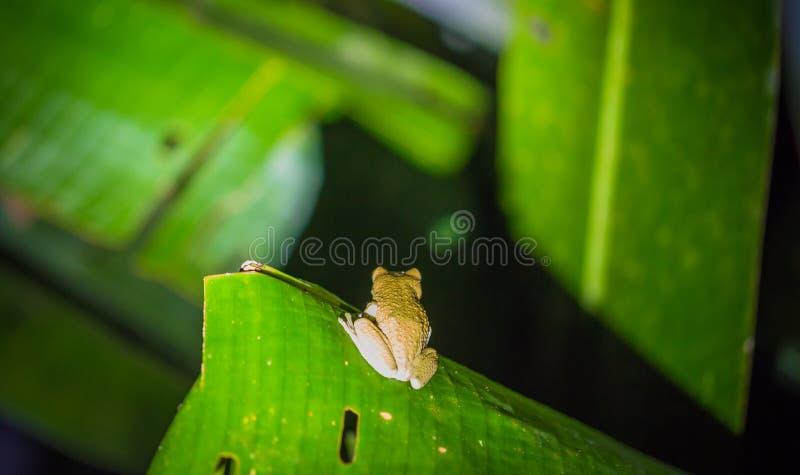 Εθνικό πάρκο Manu, Περού - 6 Αυγούστου 2017: Πράσινος βάτραχος στο AM στοκ εικόνα με δικαίωμα ελεύθερης χρήσης