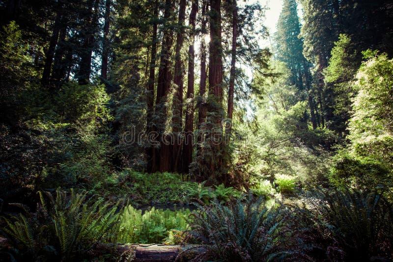 Εθνικό πάρκο Redwood σε Καλιφόρνια, ΗΠΑ στοκ φωτογραφίες