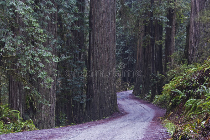 εθνικό πάρκο redwood redwoods στοκ εικόνες