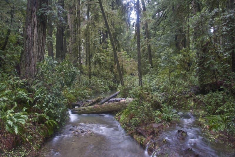 εθνικό πάρκο redwood redwoods στοκ φωτογραφία