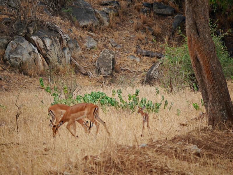 Εθνικό πάρκο Tarangiri Ngorongoro σαφάρι Gazang στοκ εικόνα με δικαίωμα ελεύθερης χρήσης