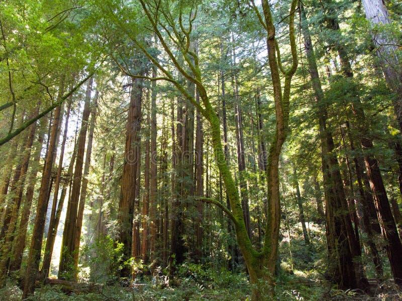 Εθνικό φύλλωμα πάρκων ξύλων Muir από το ίχνος πεζοπορίας στοκ εικόνες
