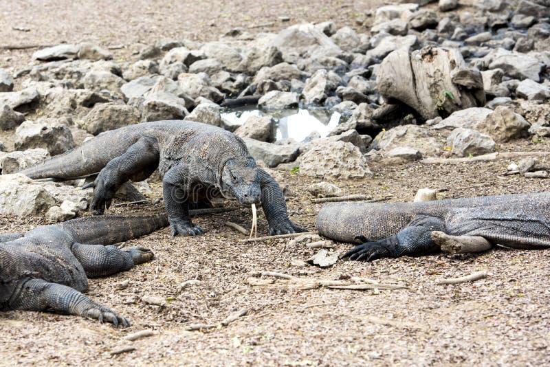 εθνικό rinca πάρκων komodo νησιών δράκων στοκ φωτογραφίες με δικαίωμα ελεύθερης χρήσης